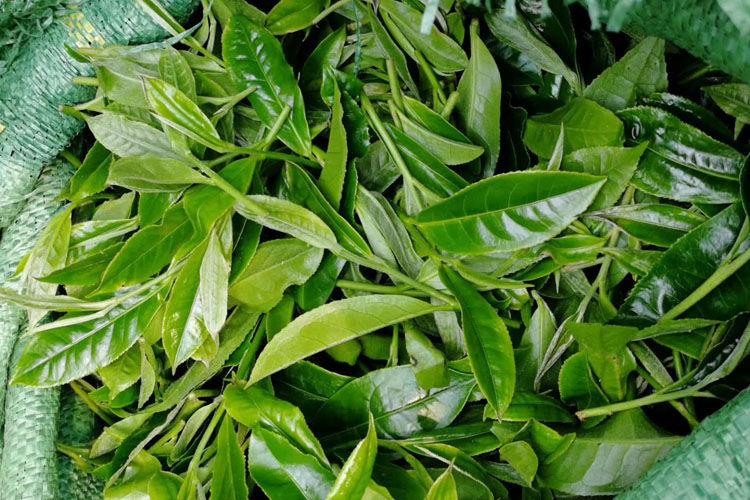 普洱茶鮮葉有什么與眾不同的特點?