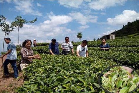 云南普洱茶樹良種場開展有機茶園生產調研