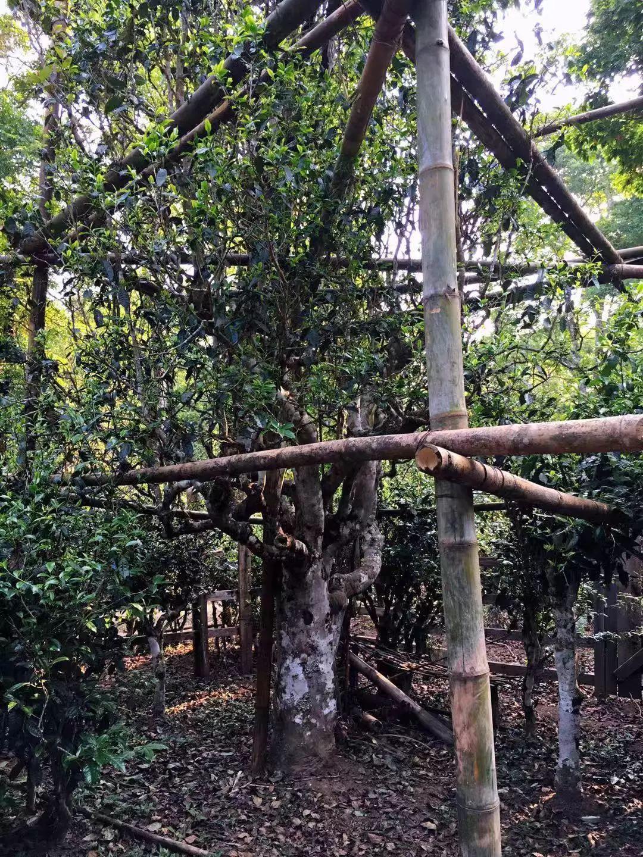 景迈核心古茶林——大平掌古茶园