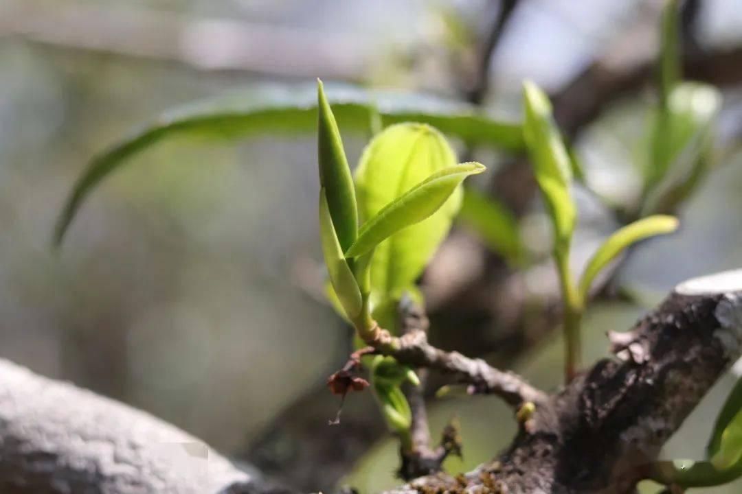 尋味冰島:名山古樹茶的味與源